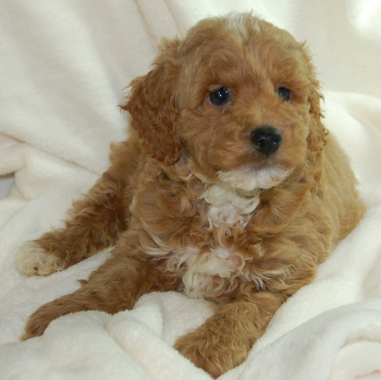 Available Miniature Goldendoodles